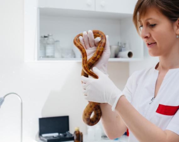 Veterinario per animali esotici che visita un serpente