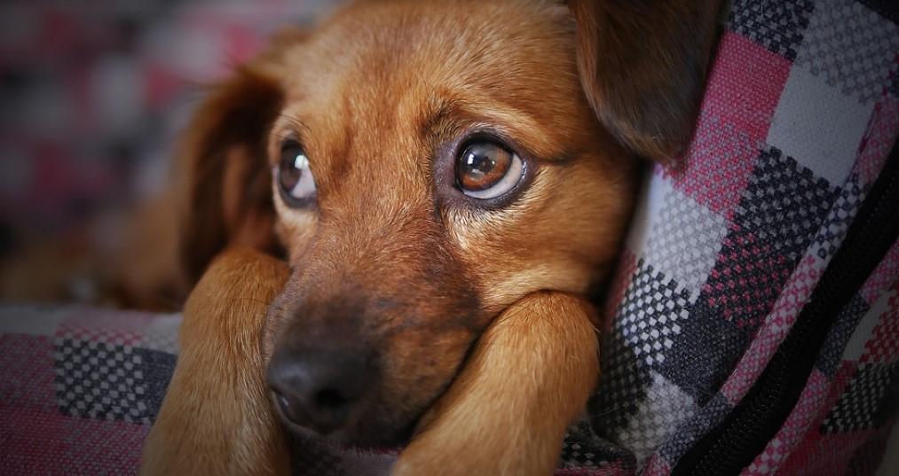 come riconoscere l'otite esterna nei cani